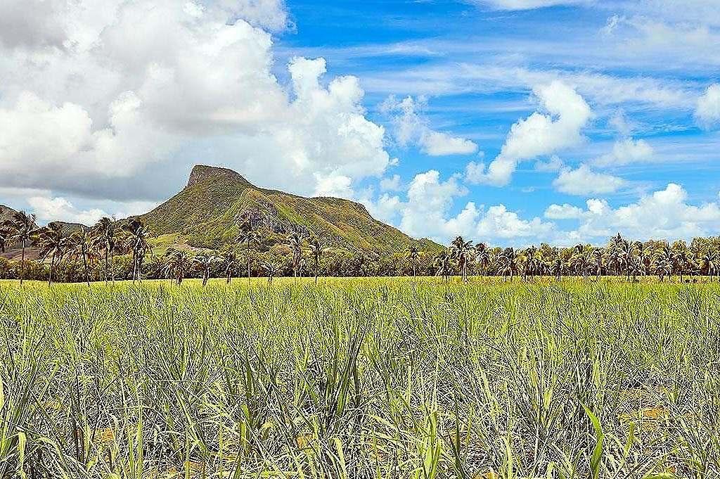 La Montagne du Lion vue d'un champ de cannes